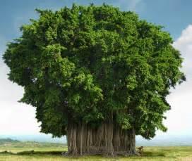 india india national tree