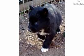 Hybrid Puppies Black W...