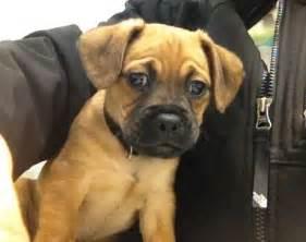 Pug Beagle Mix Dogs