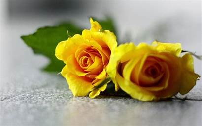 Yellow Rose Wallpapers Backgrounds Roses Flowers Desktop