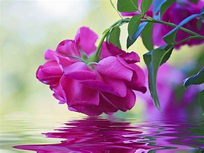 Pink Flower Rose Water Leaves Reflection Wallpapers13