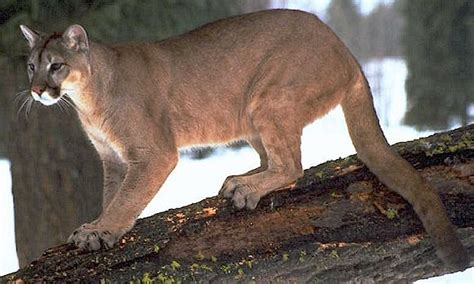 mountain lion    puma  cougar felidae