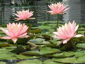 Pink flowers, lily pads | Pink flowers and lily pads at ...