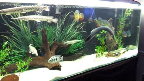 showcase gars  gallon aquarium youtube