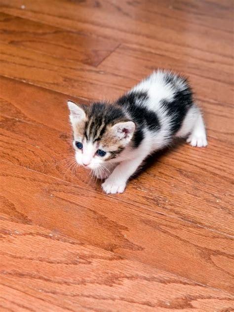 friendliest cat breeds   world   cat lovers