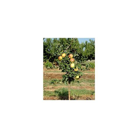 pommier nain en pot pommier nain garden sun 174 en pot plantes et jardins
