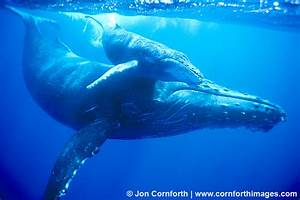 Humpback Whale Mother & Calf 2 Photo, Picture, Print ...