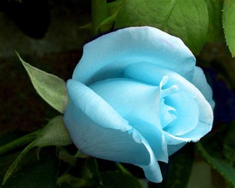 blue roses wallpapers wallpaper cave