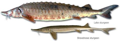 fishes  wisconsin sturgeon wisconsin dnr
