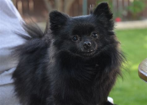 pomeranian dog temperament exercise  grooming