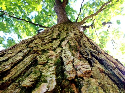 You can add this tree trunk table to your home, knowing your purchase is… white bark trees. Bark, Kentucky Coffee Tree. Scott Arboretum, Pennsylvania ...