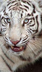 Free White tiger Stock Photo - FreeImages.com