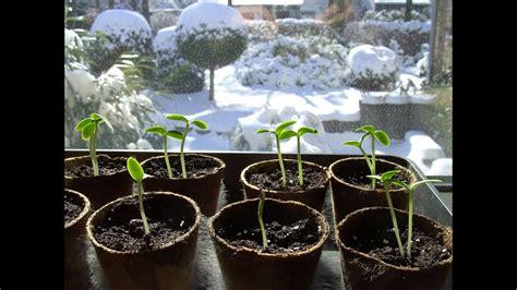gurken und tomaten im gewächshaus tomaten gurken zucchini k 252 rbisse und paprika vorziehen teil 1
