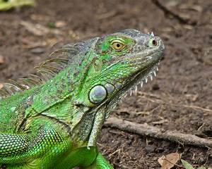 Tamarindo, Costa Rica Daily Photo: Green iguana profile