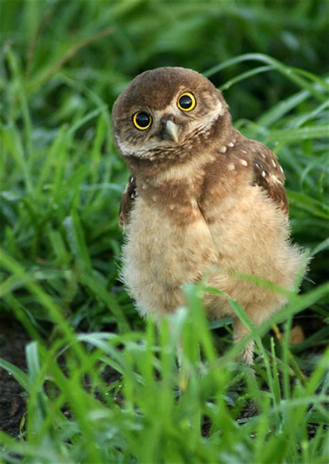 baby owls burrowing owl facts habitat diet life cycle baby pictures