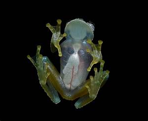 File:Flickr - ggallice - Glass frog (4) cropped.jpg
