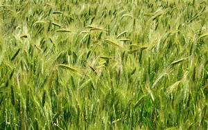 Green Wheat Field wallpapers   Green Wheat Field stock photos