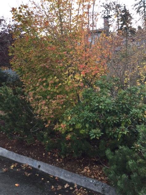 good trees  urban gardens japanese maples