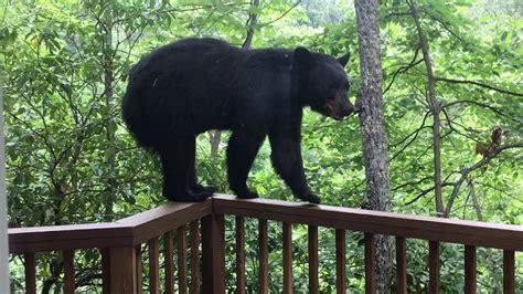 momma bear  cub  porch  gatlinburg bjbourg youtube