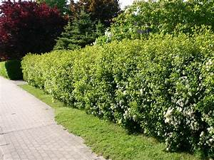 Dichte Schnellwachsende Hecke : welche kletterpflanze als sichtschutz deko ideen welche pflanzen als sichtschutz f r garten und ~ Whattoseeinmadrid.com Haus und Dekorationen