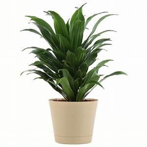 Delray, Plants, Janet, Craig, Dracaena, Easy, To, Grow, Live, House, Plant, 6