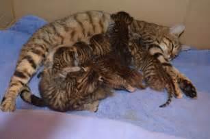 toyger cats toyger kitten brandon suffolk pets4homes