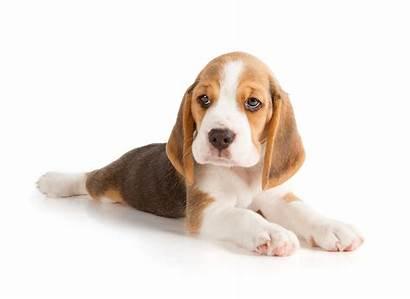 Beagle Dog Sigh Puppy Purebred Puppies Why