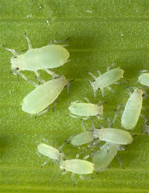 green fly control greenfly natural pest control