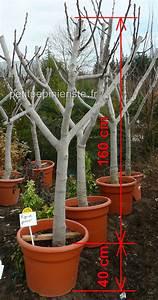Planter Un Figuier : planter un figuier planter un figuier dalmatie dans une ~ Melissatoandfro.com Idées de Décoration