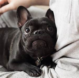 7294 best images about French bulldog on Pinterest