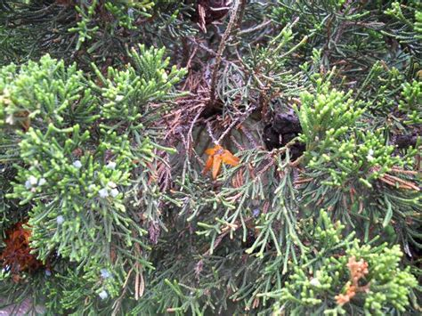 cedar rust hawthorn juniper orange pests diseases horns hawthorne gall fruit gardening