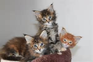 maine coon cats for maineline maine coon kittens for tamworth