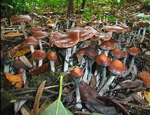 Mushroom Observer  Observation 25751  Psilocybe Cyanescens