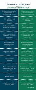 Difference Between Prokaryotic And Eukaryotic Translation