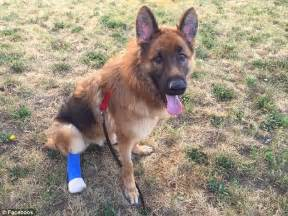 maverick animal clinic german shepherd maverick forced to chew his own paw to
