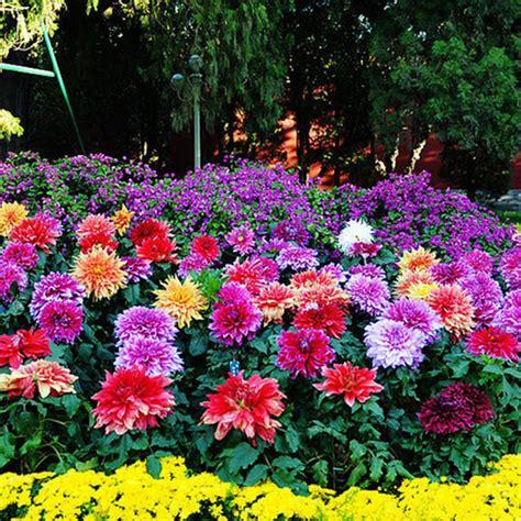 colorful perennials 2 pcs colorful dahlia large bloom flower bulbs perennials