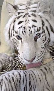 Rare white tiger gives birth to five cute cubs! - Real ...