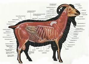 Anatomy   Capra Hircus