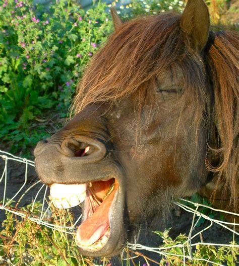 horse teeth wikipedia wiki yawning scotland