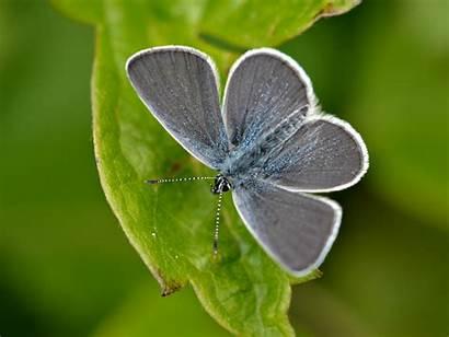 Butterfly Species Conservation Silver Branch Butterflies Identification