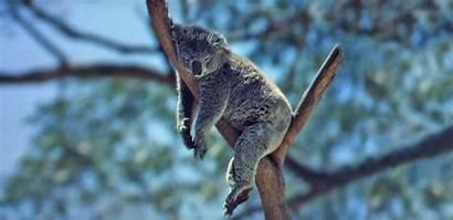 Australian Animals Australia Koala Sleeping Hell Nfsa