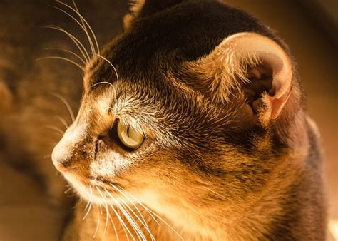 cure ear mites  cats health beauty market