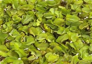 Wasserpflanzen Teich Kaufen : wasserpflanzen im obi markt hingucker f r jeden gartenteich ~ Michelbontemps.com Haus und Dekorationen