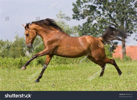 horse running arabian nice shutterstock