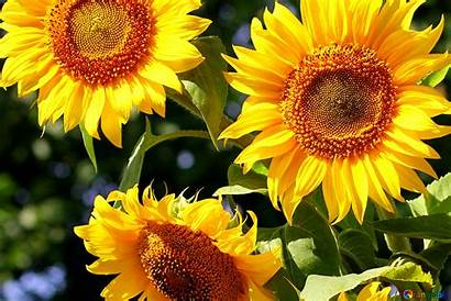 Sunflowers Sunflower Bouquet Background Flower Summer Nature