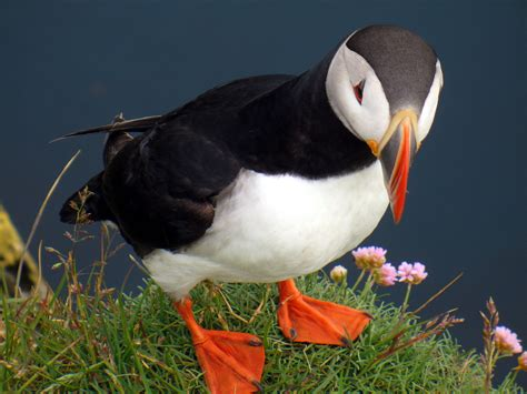 puffins we went to the bird cliffs at l 225 trabjarg the