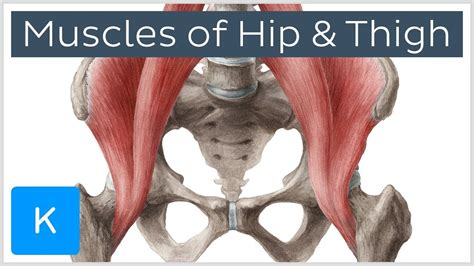 Learn about human body bones muscles with free interactive flashcards. Muscles of the Hip and Thigh - Human Anatomy   Kenhub - ViDoe