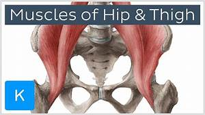 Muscles Of The Hip And Thigh