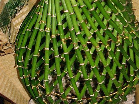 lucky bamboo dracaena sanderiana article