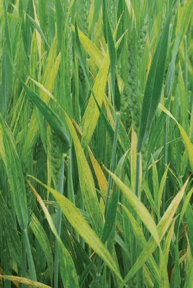 wheat streak mosaic ut crops disease field guide